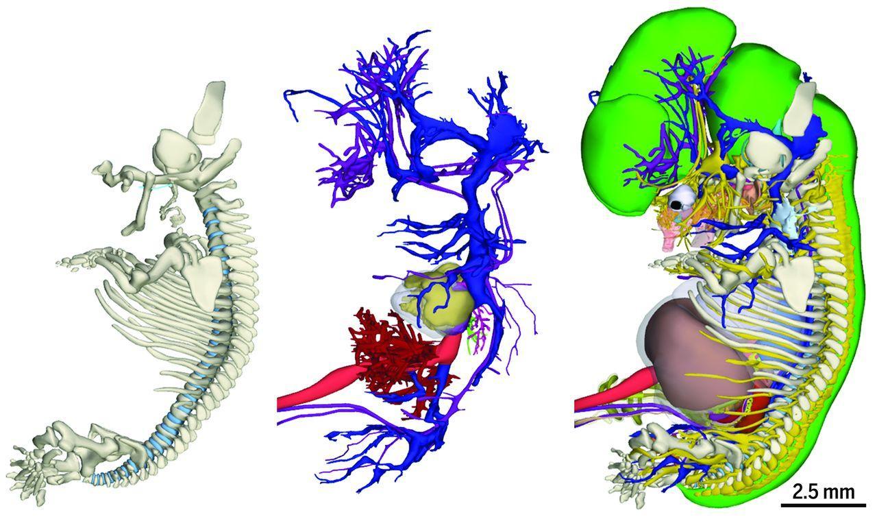 Ученые завершили работу над 3D-атласом эмбриологии человека