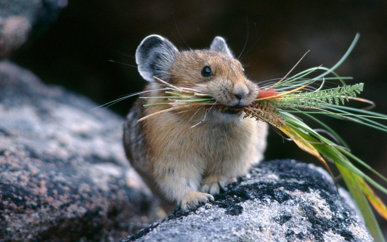 Мышей омолодили инъекциями человеческой плазмы крови
