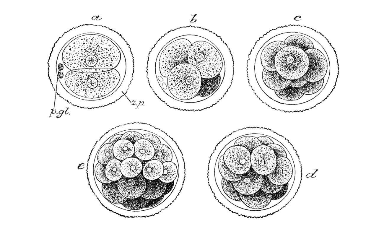 Homo invitricus: этические проблемы использования человеческих эмбрионов