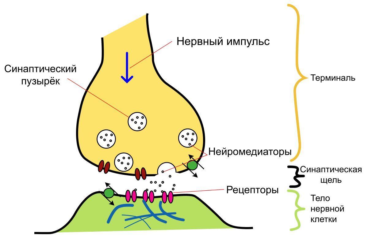 Нейромолекулы: кофеин