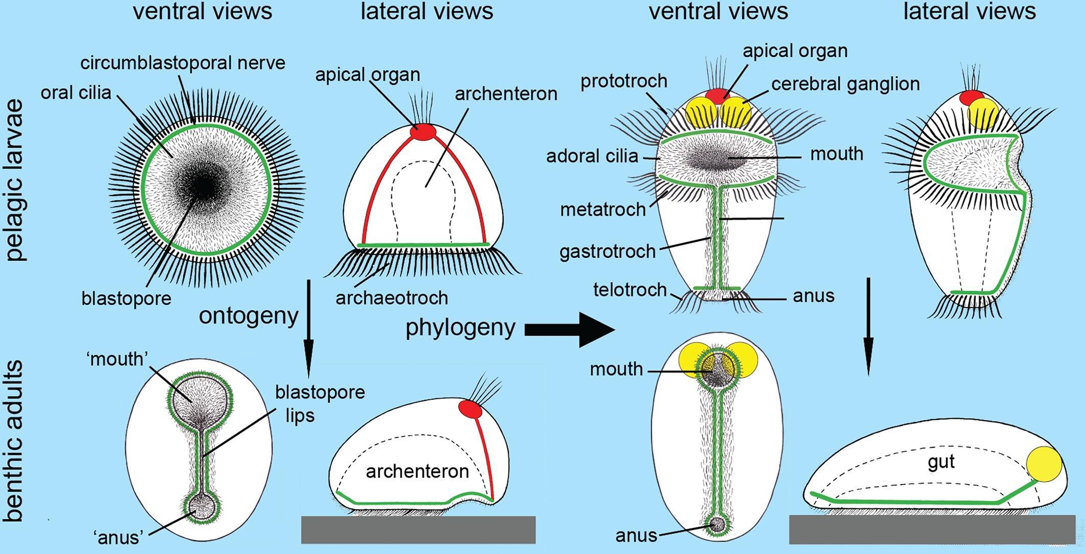 Происхождение человека: вначале был анус