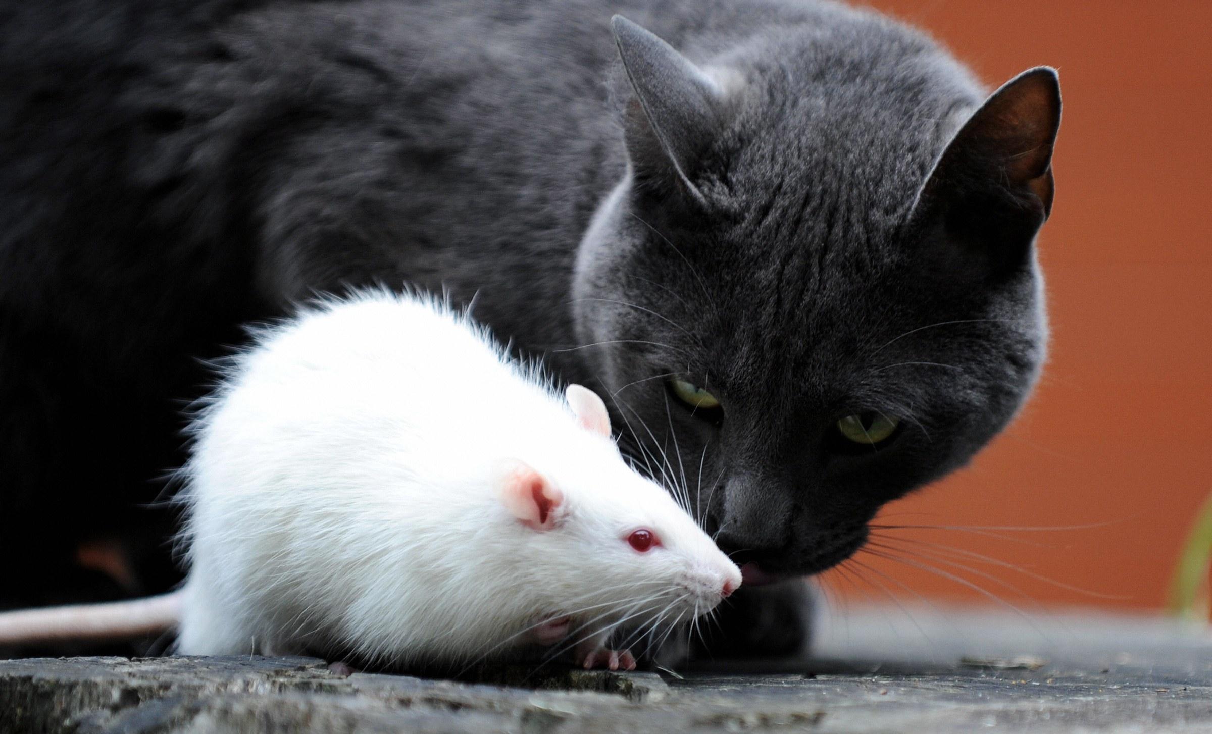 Трансплантация клеток мозга помогла боязливым мышам побороть страх