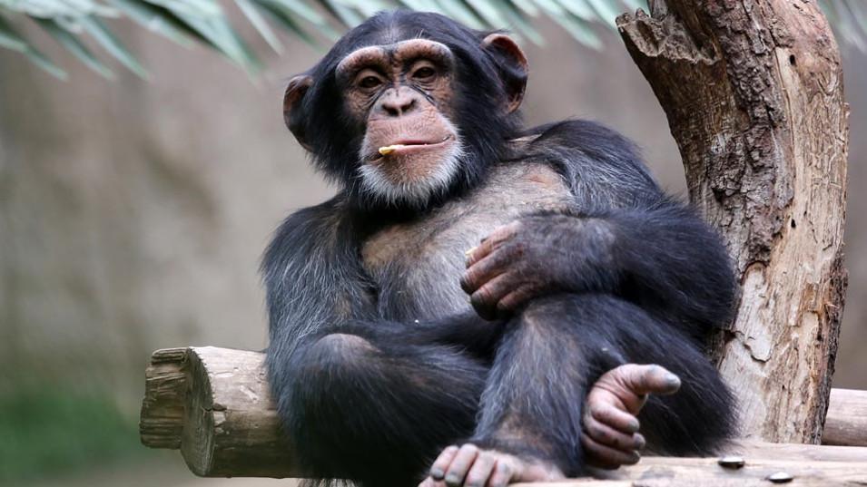 война делает шимпанзе счастливыми