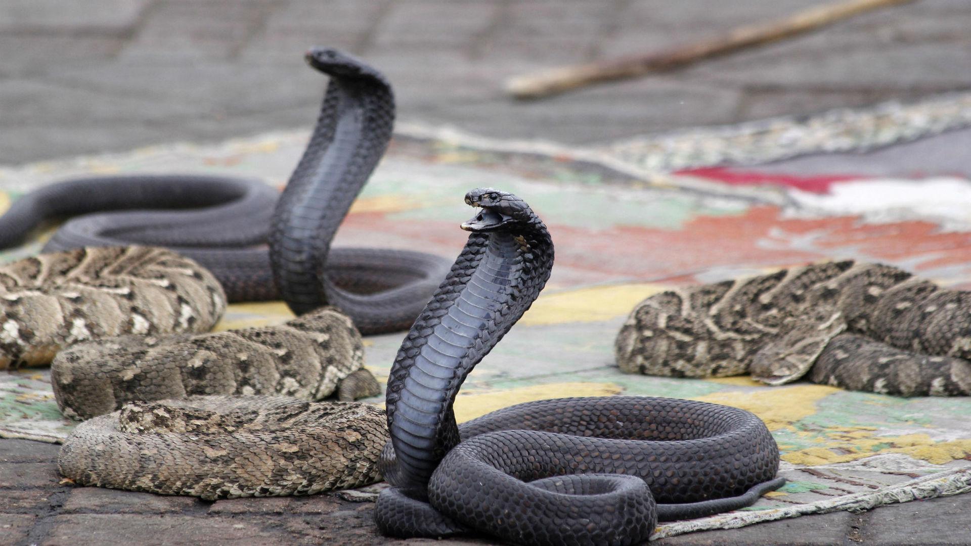 Создаётся противоядие против всех змеиных укусов разом
