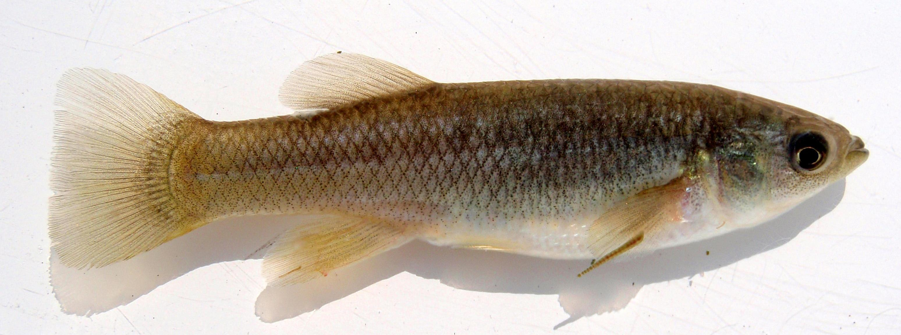 """Рыбы ускоренно """"привыкли"""" к смертельным токсинам"""