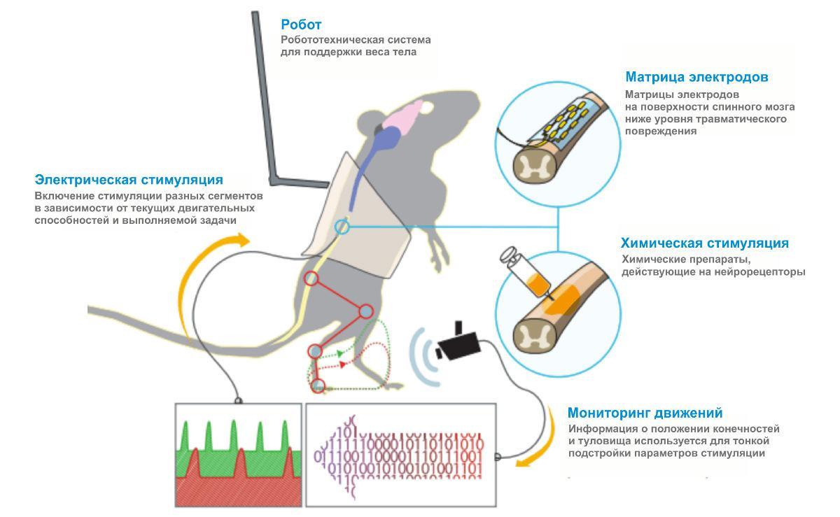 петербургские нейрофизиологи побороли паралич у крыс