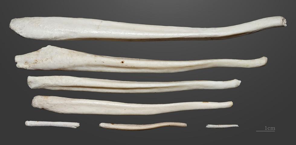 почему мужчины потеряли кость в пенисе