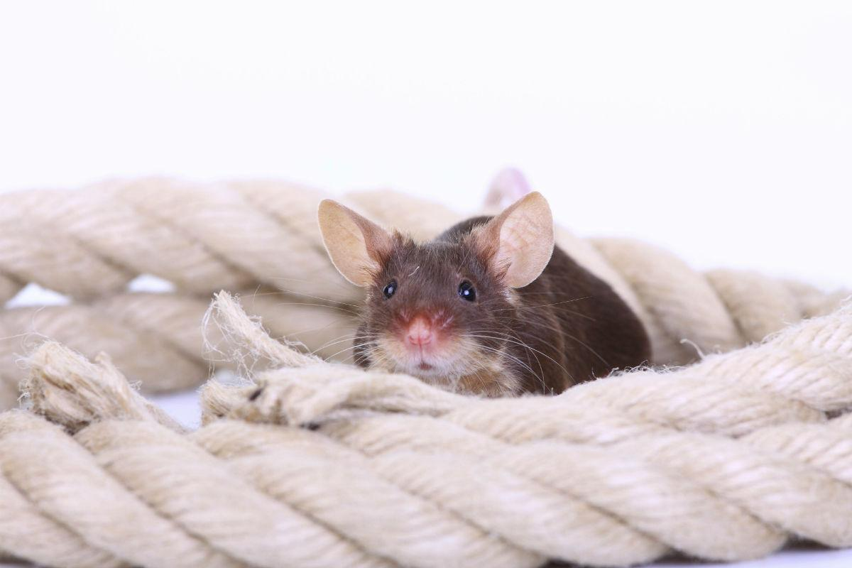 как определить счастлива ли крыса