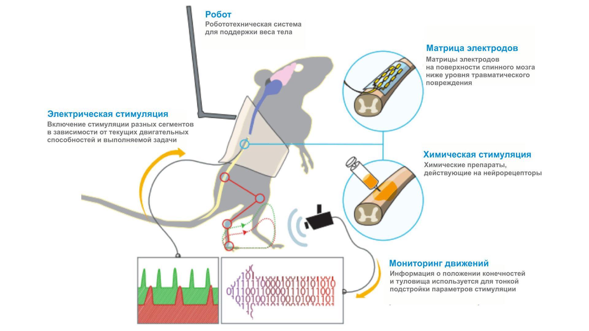 Нейрофизиологи побороли паралич у крыс при помощи стимуляции спинного мозга