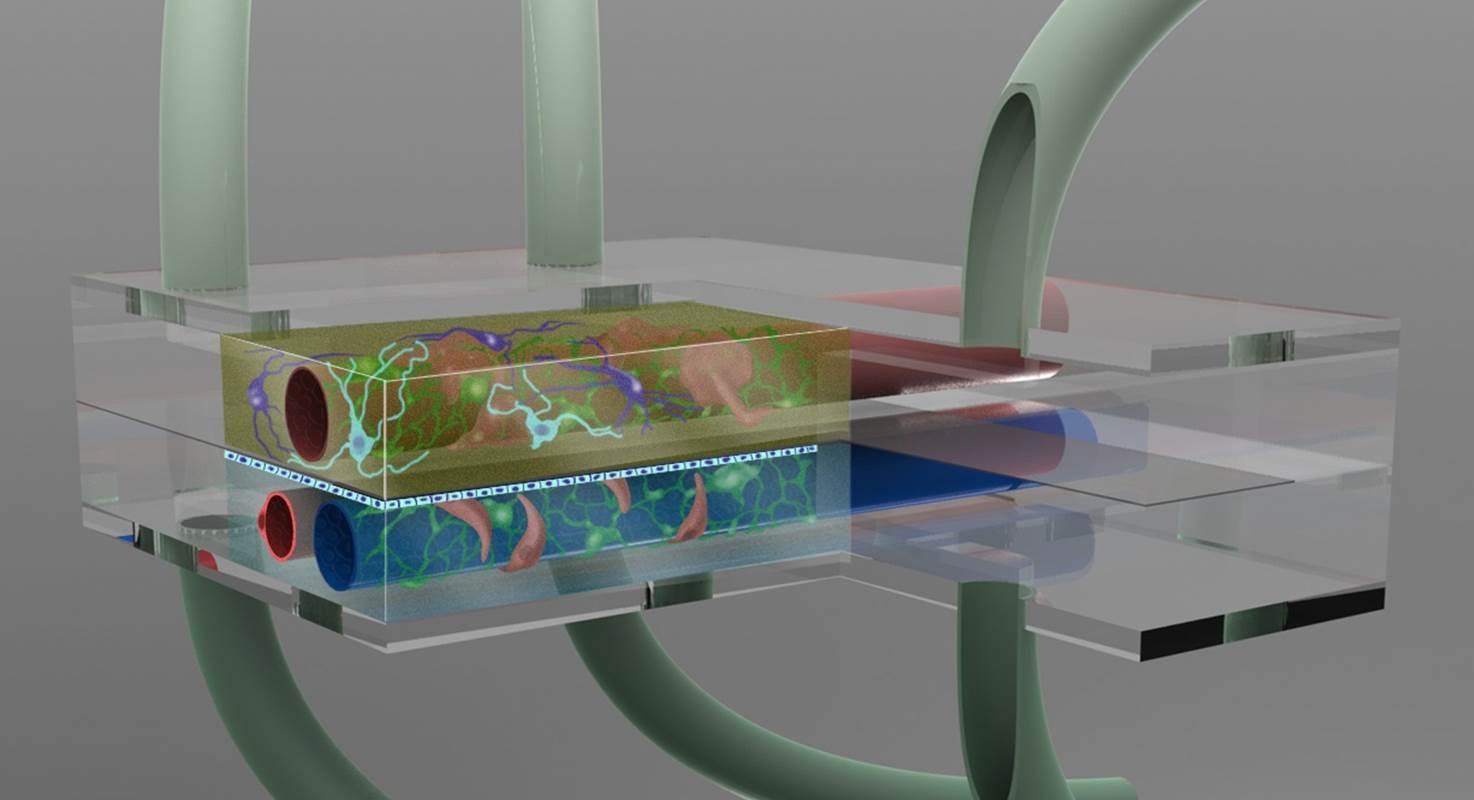 Создано микрофлюидное устройство для исследования воспалений мозга