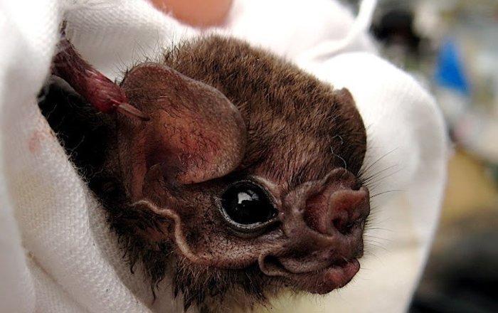 летучие мыши-вампиры начали пить кровь людей