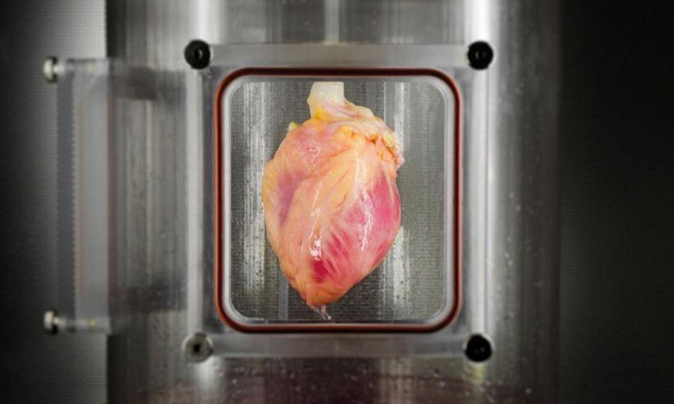 учёные будут выращивать человеческие сердца из стволовых клеток