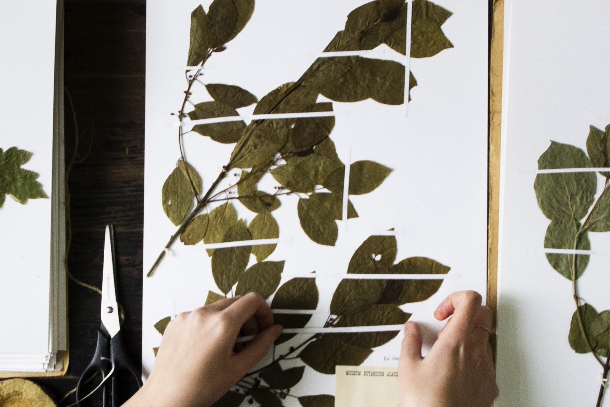 В МГУ заработал один из крупнейших в мире цифровых гербариев