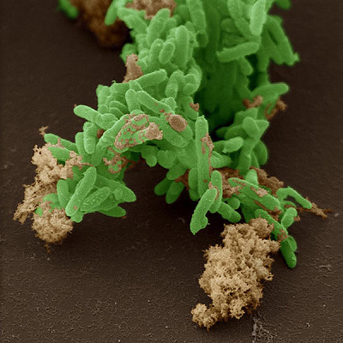 биологи нашли бактерии, ведущие фотосинтез «на двоих»
