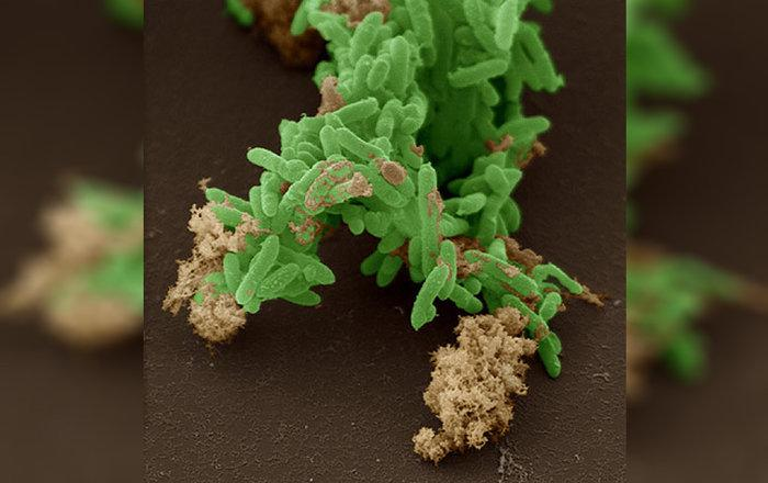 биологи нашли бактерии, ведущие фотосинтез на двоих