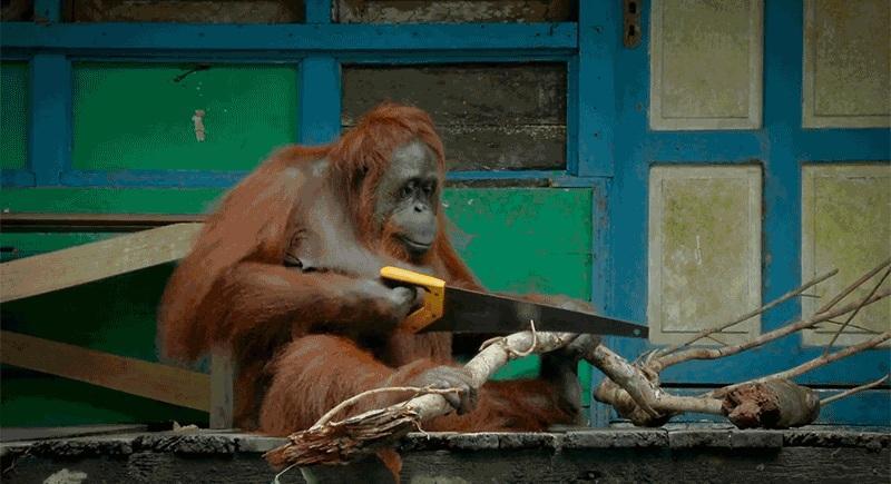 обезьяна научилась пользоваться пилой