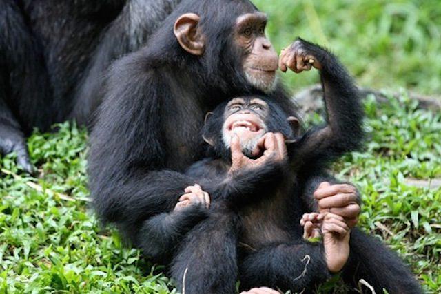 Одни обезьяны занимаются сексом с другими
