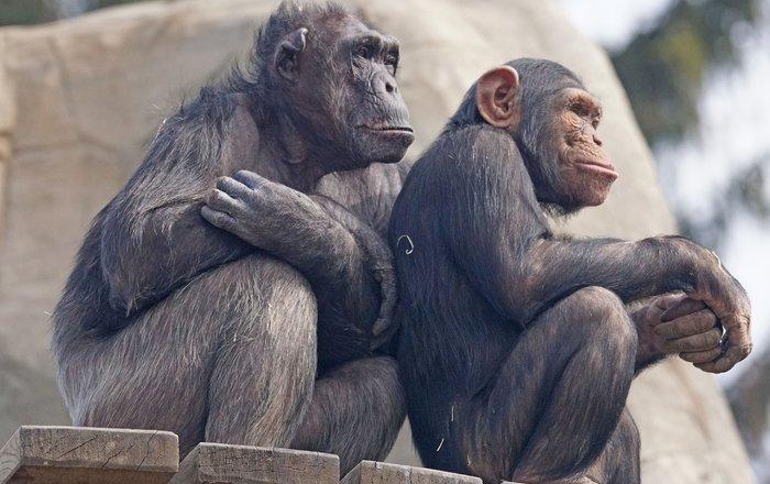 около 60% видов приматов находится под угрозой исчезновения