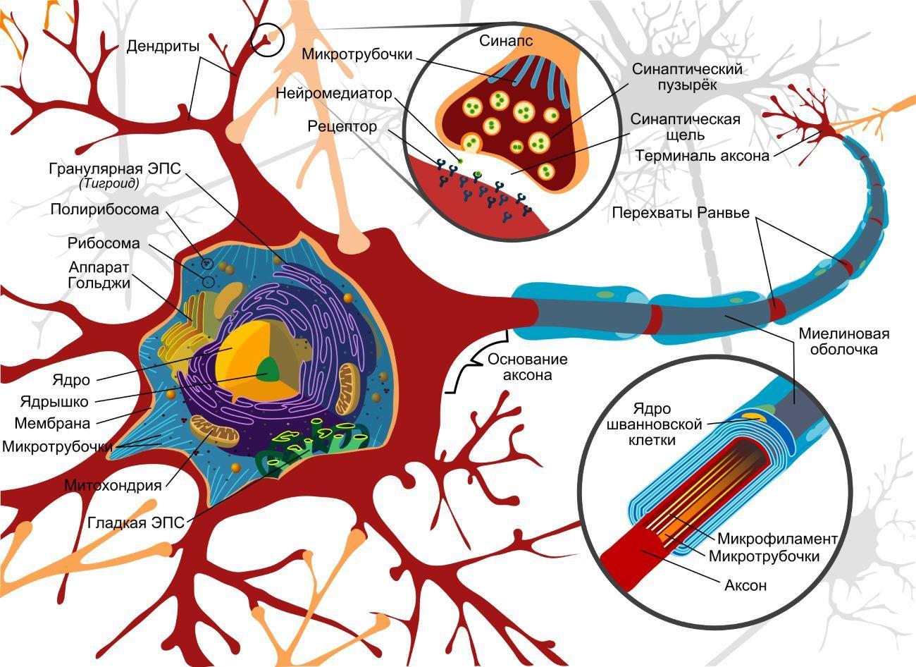 Принципиальная схема нейрона
