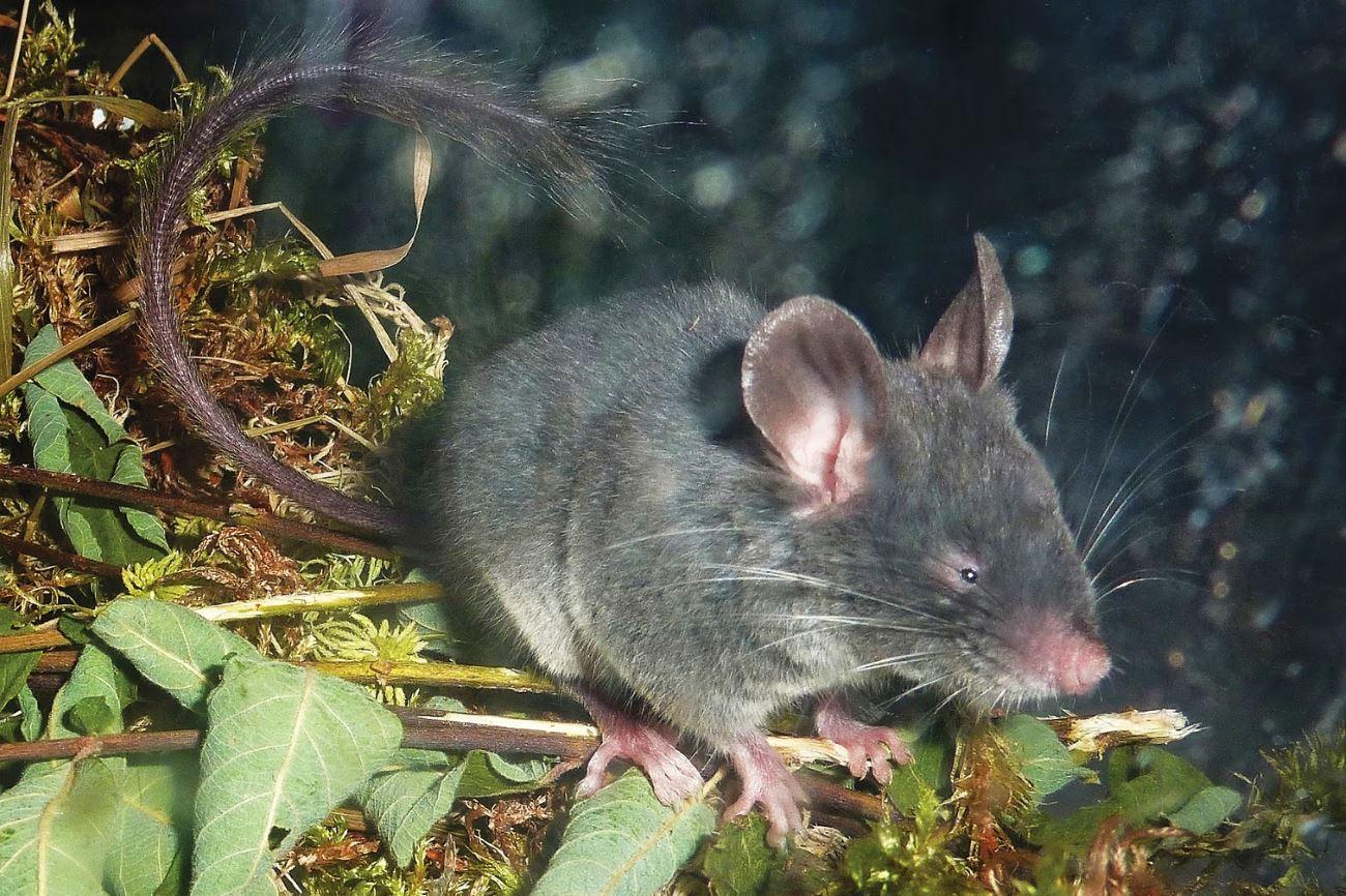 в московском зоопарке нашли мышь, которая пользуется эхолокацией