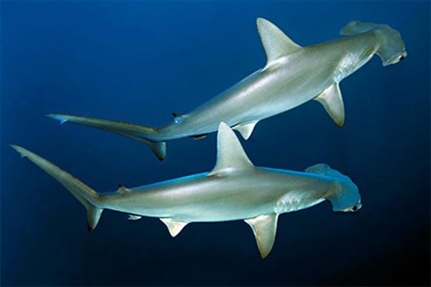 Раскрыт механизм устойчивости акул к раку