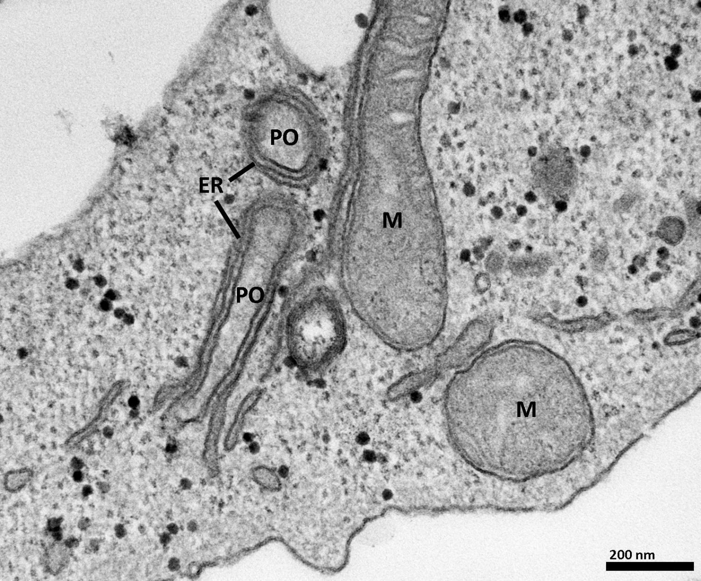 Как органеллы взаимодействуют в клетках человека
