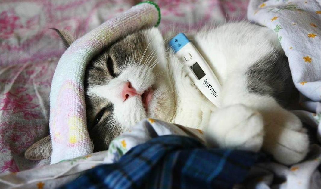 впервые в мире зафиксирован случай заражения птичьим гриппом от кота