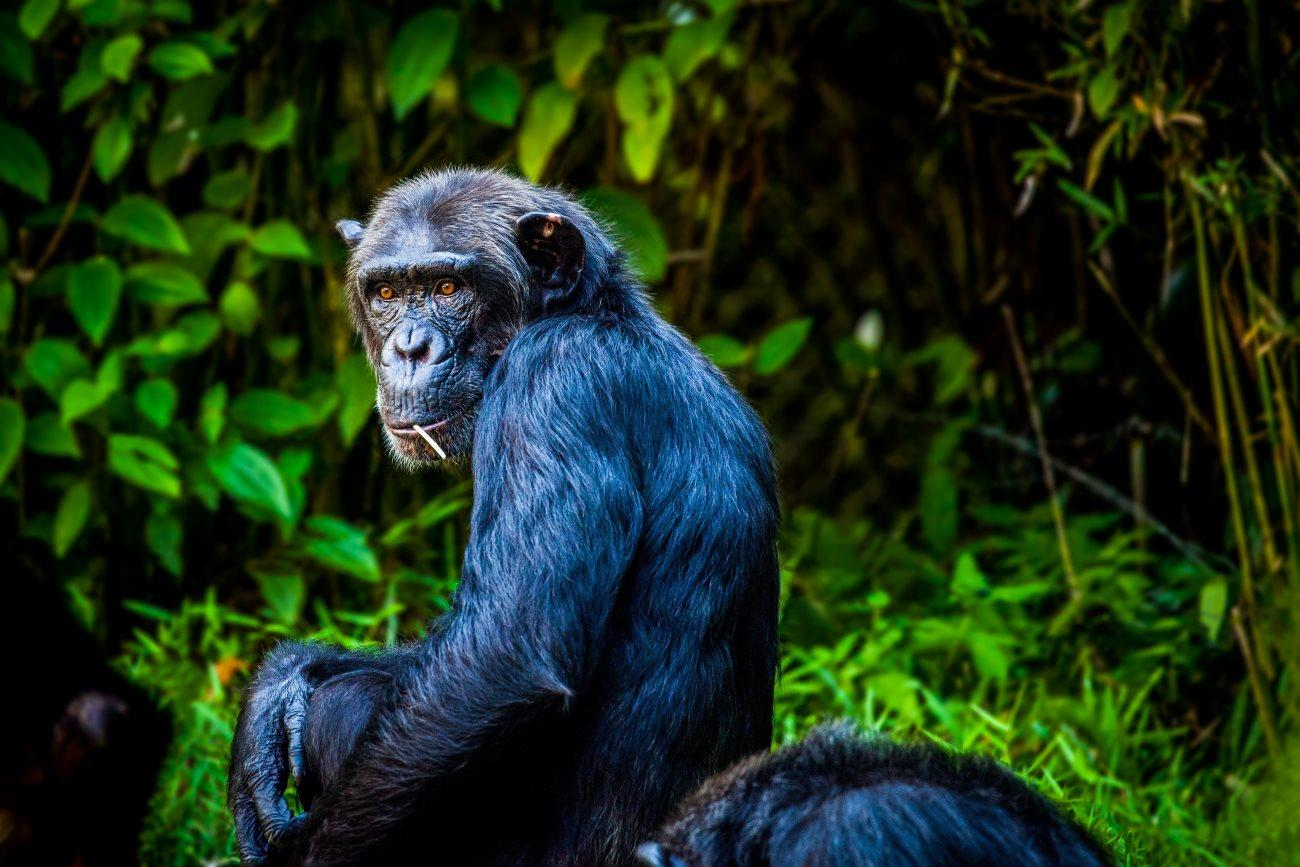 Шимпанзе поймали за изготовлением особых палочек для питья