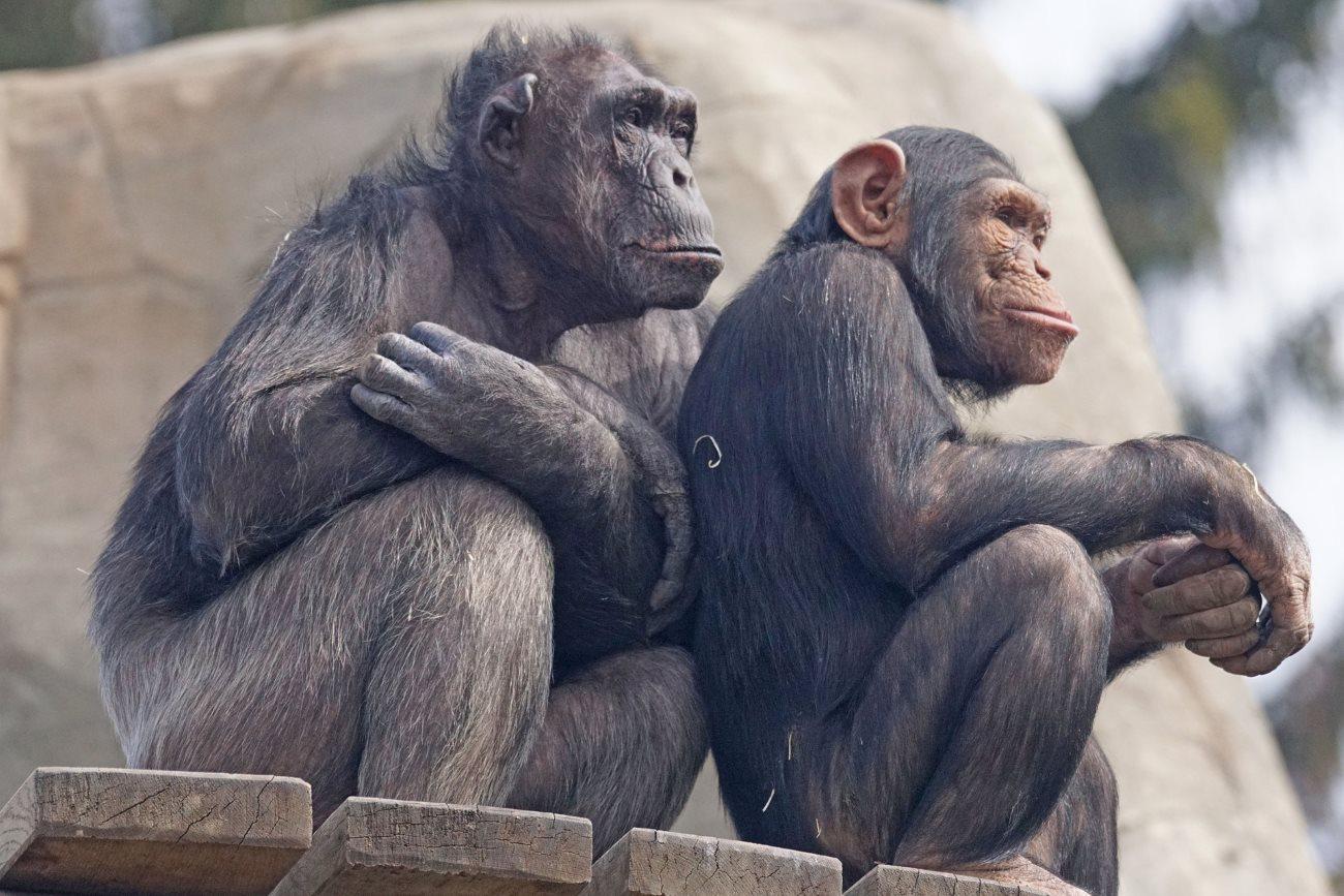 Шимпанзе оказались безразличны к смерти детенышей из другой стаи
