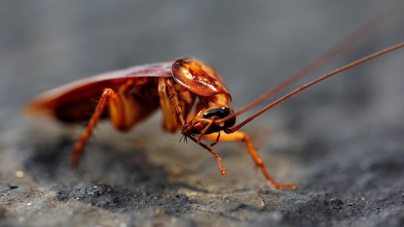 cockroach - Если человек вымрет: 10 животных, которые будут доминировать на Земле