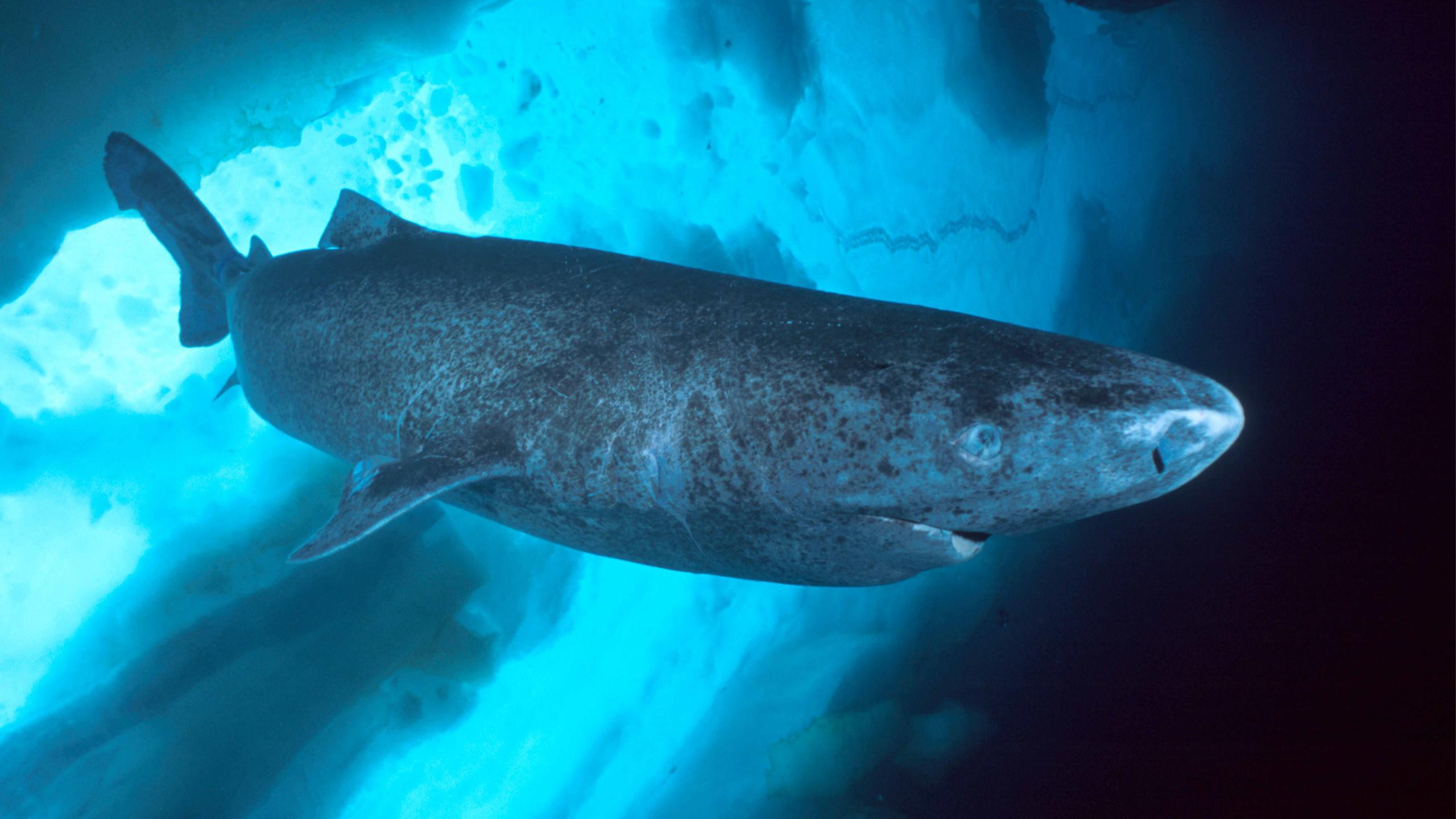 Акула-долгожитель