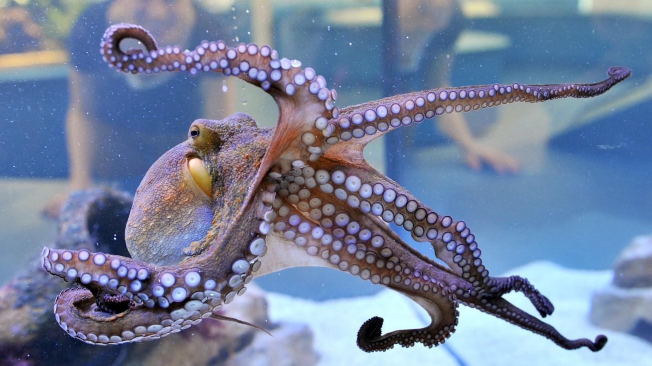 octopus - Если человек вымрет: 10 животных, которые будут доминировать на Земле