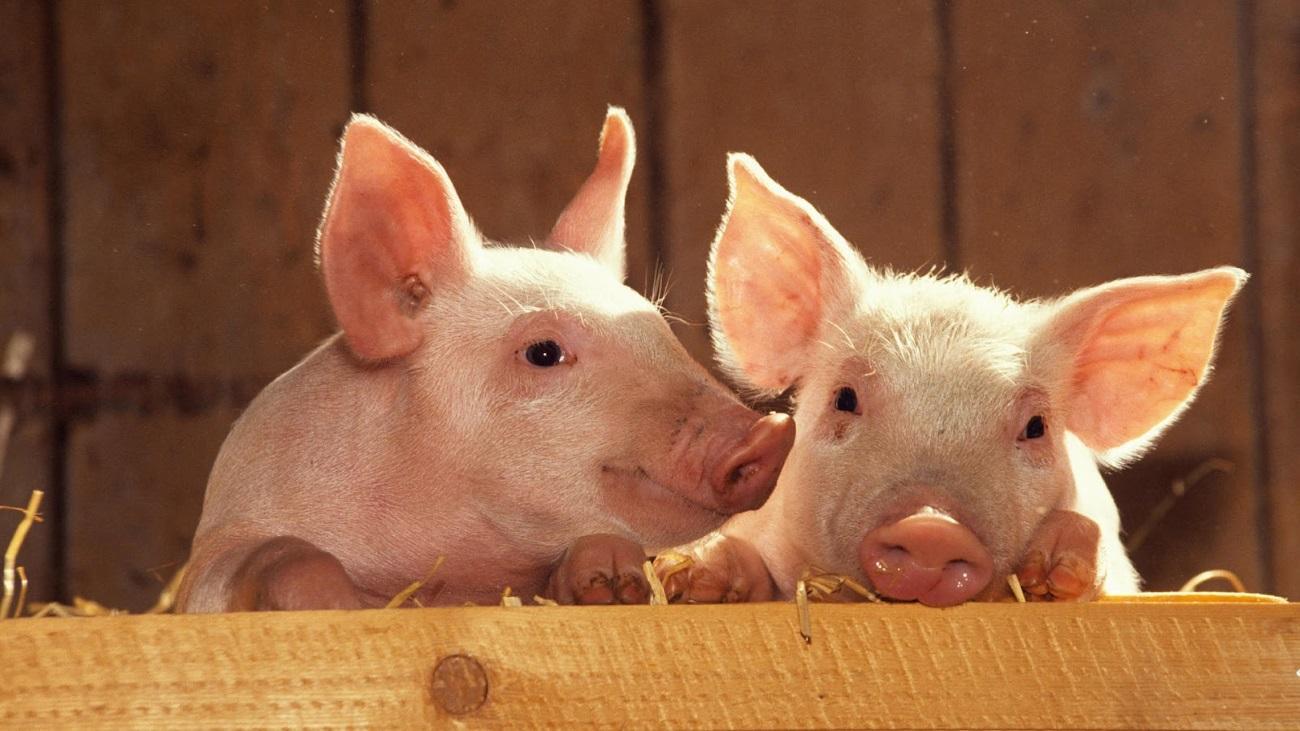 pig - Если человек вымрет: 10 животных, которые будут доминировать на Земле