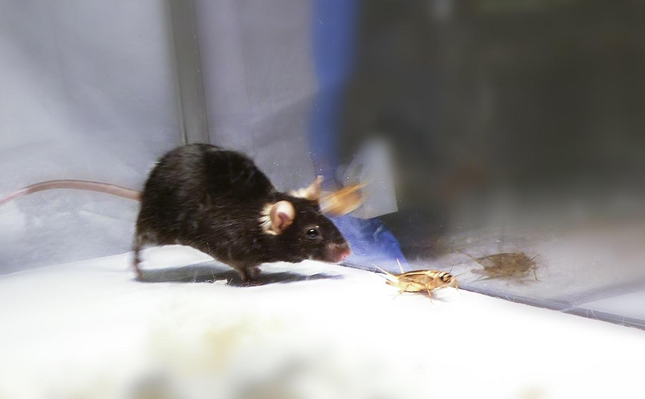 разбудите во мне зверя: оптогенетика превратила мышей в хищников