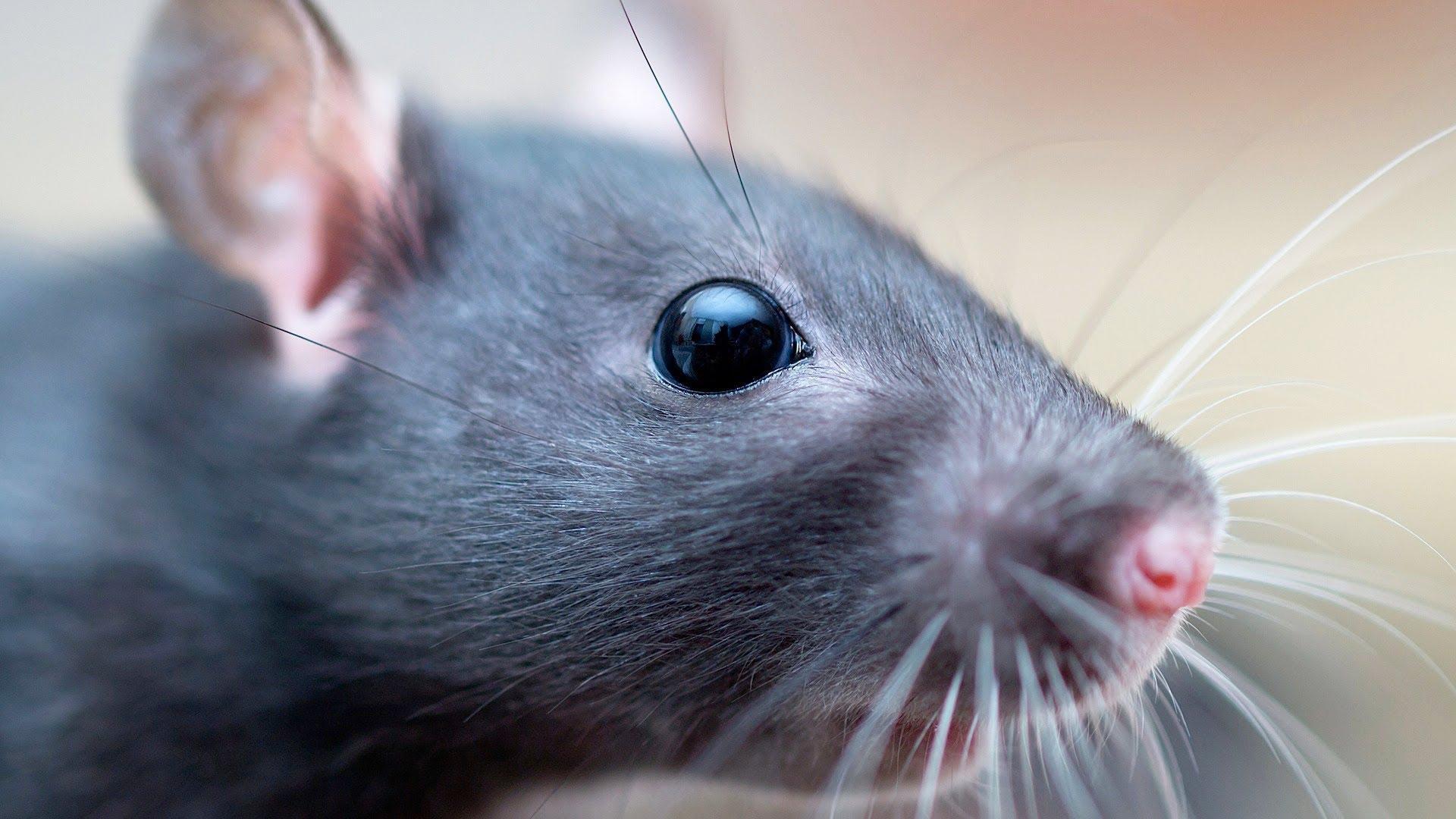 База данных медицинских исследований позволит сохранить жизнь модельным животным