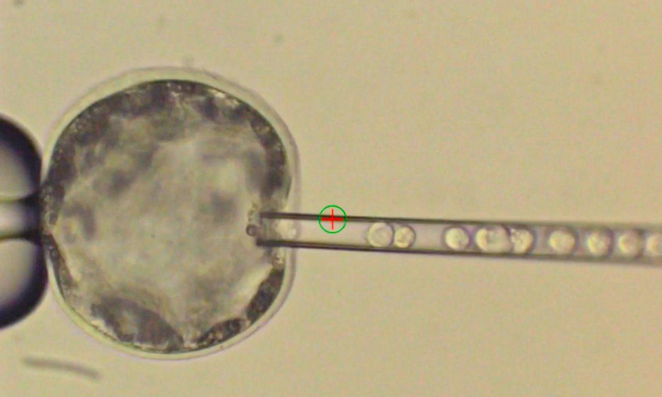 учёные создали первый жизнеспособный эмбрион гибрида человека и свиньи