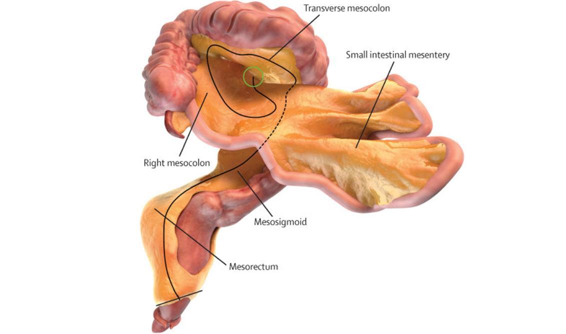 учёные обнаружили в человеческом теле новый орган