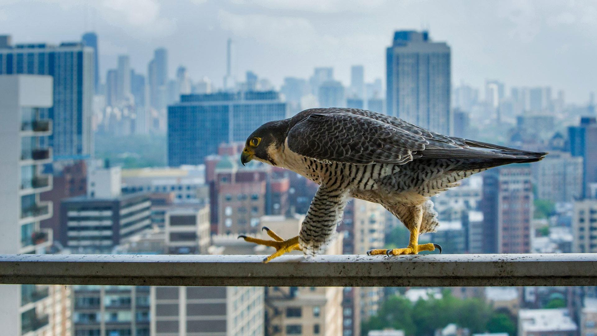 Шум города мешает животным спасать друг друга от хищников