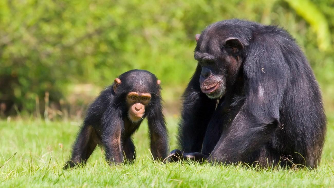Ученые засняли на видео «школу для шимпанзят»