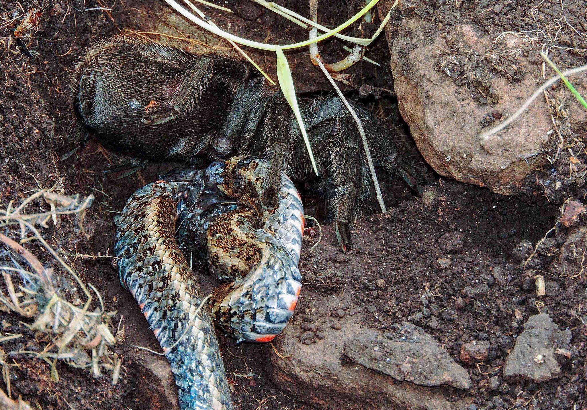 Биологи впервые увидели, как тарантул поедает змею