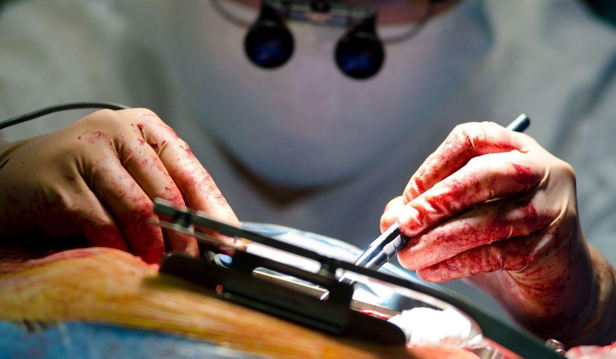 в будущем донорами сердец могут стать генетически модифицированные свиньи