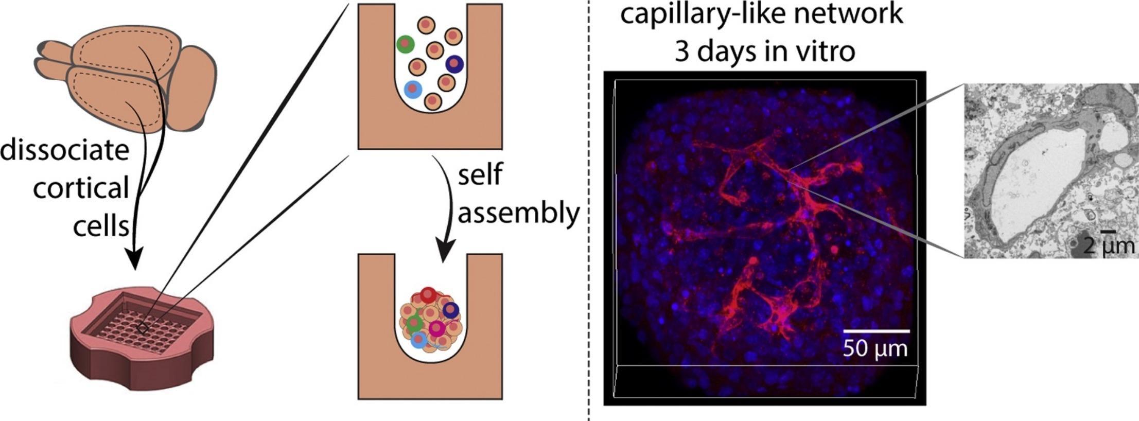 Ученые создали мини-мозг с кровеносными сосудами