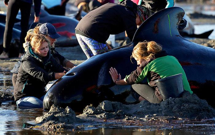 Еще две сотни дельфинов выбросились на берег в Новой Зеландии