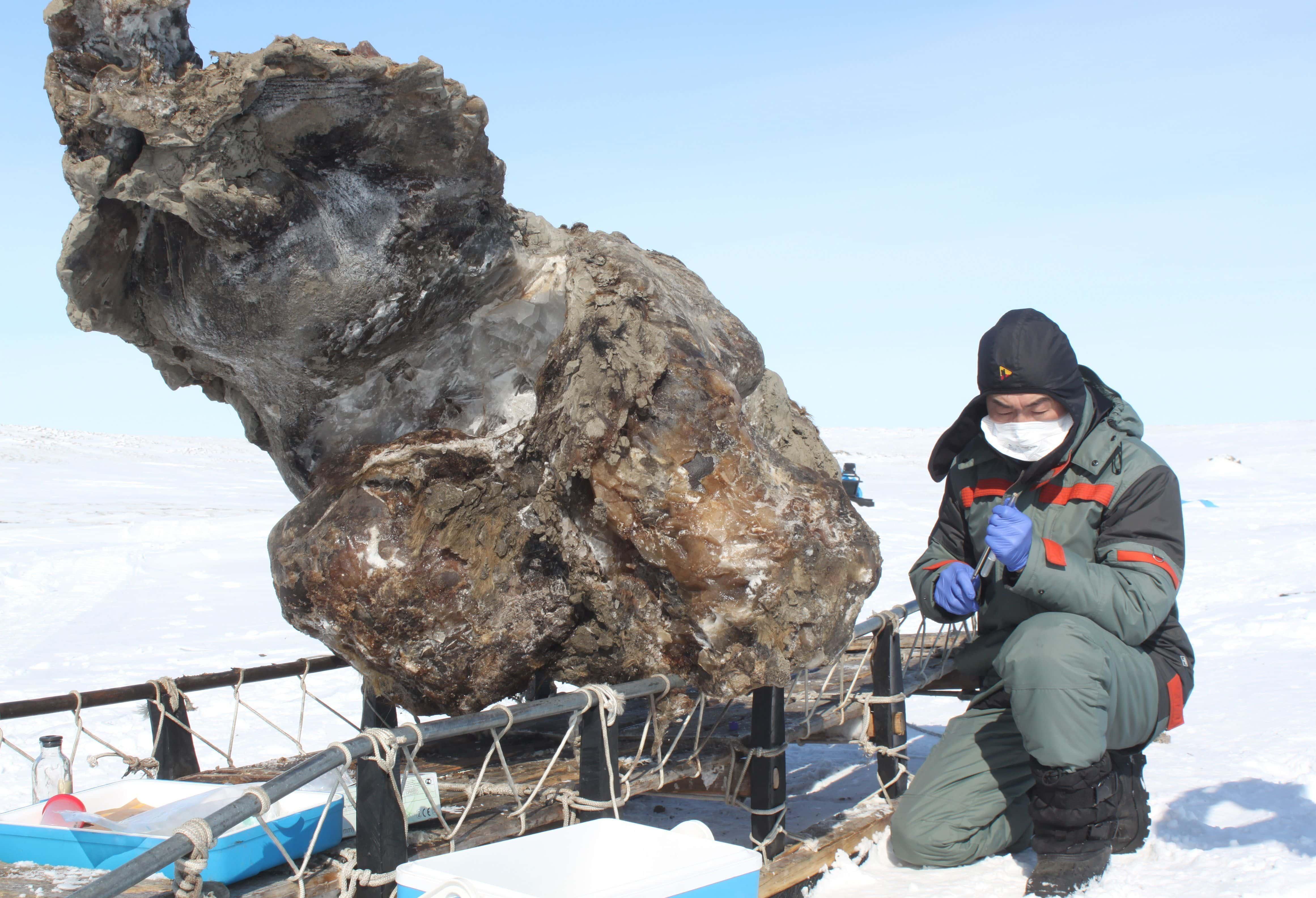 Российские ученые готовы клонировать мамонта