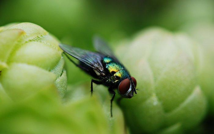 мухи оказались виновниками распространения устойчивости к антибиотикам