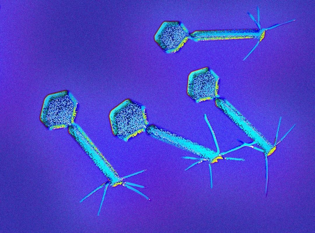 Как вирусы решают судьбу бактерии