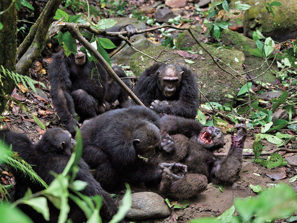 Шимпанзе воюют и без человека
