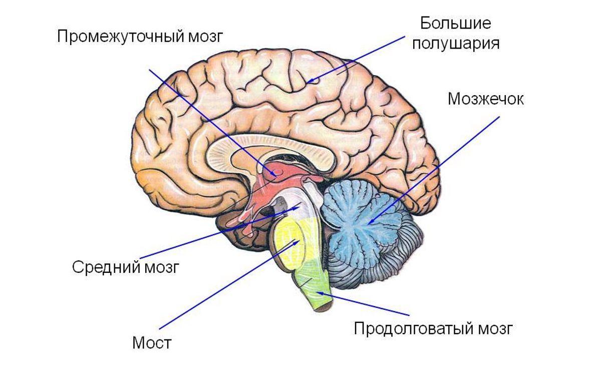 Вячеслав Дубынин о промежуточном мозге и мосте