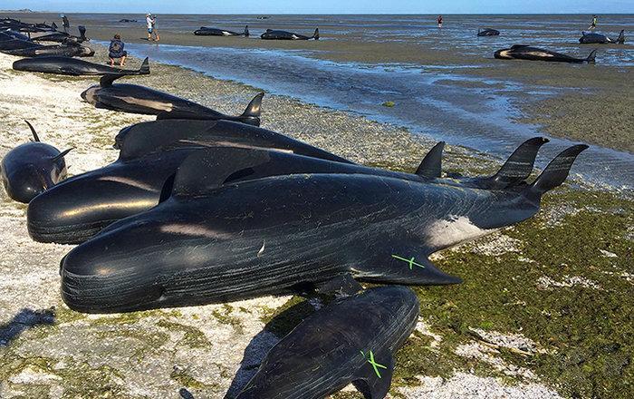 сотни дельфинов выбросились на берег