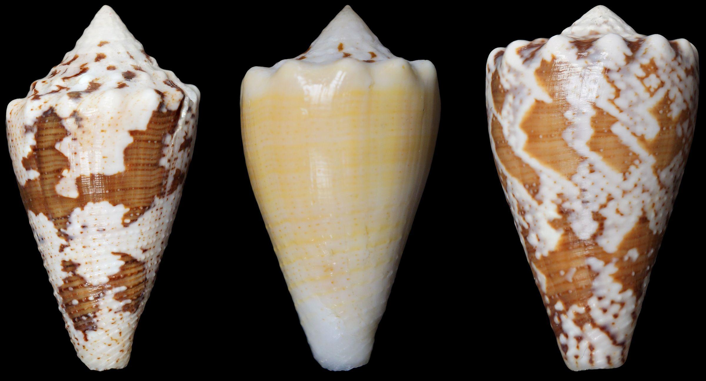 Яд морской улитки может заменить опиоидные обезболивающие
